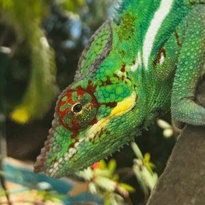 Le caméléon de la Réunion